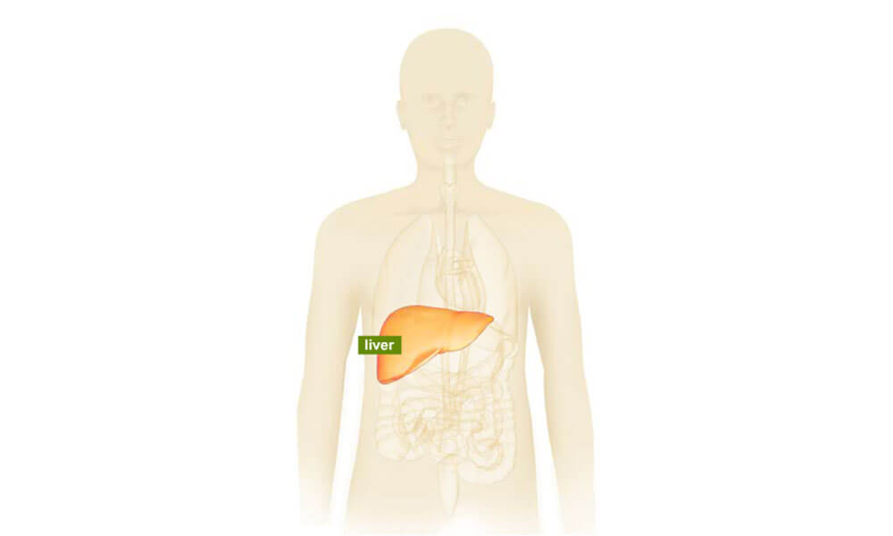 Human body illustration highlighting the liver