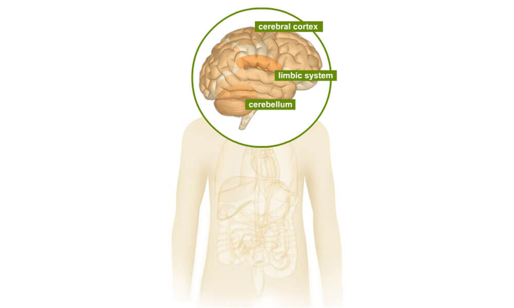 Human body illustration highlighting the cerebral cortex, limbic system and cerebellum
